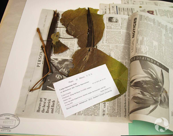 A sheet of newspaper is unfolded to reveal a pressed plant and a label.