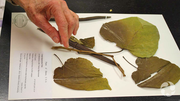 A person's hand adjusts the stem of a southern catalpa plant (Catalpa bignonioides; CAN600083) on a herbarium sheet.