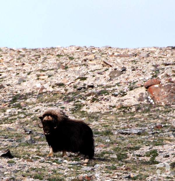 A muskox (Ovibos moschatus) on a rocky slope.