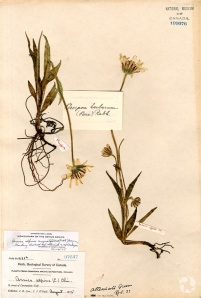 A herbarium sheet of narrowleaf arnica (Arnica angustifolia ssp. angustifolia; CAN109076).