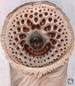 The mouth of a sea lamprey (Petromyzon marinus).