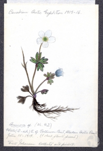 An annotated, colour illustration of a flowering plant specimen.