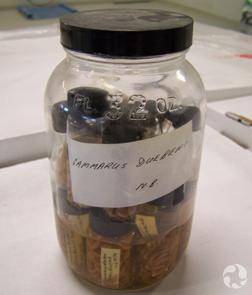 A jar containing vials of a species of crustacean.
