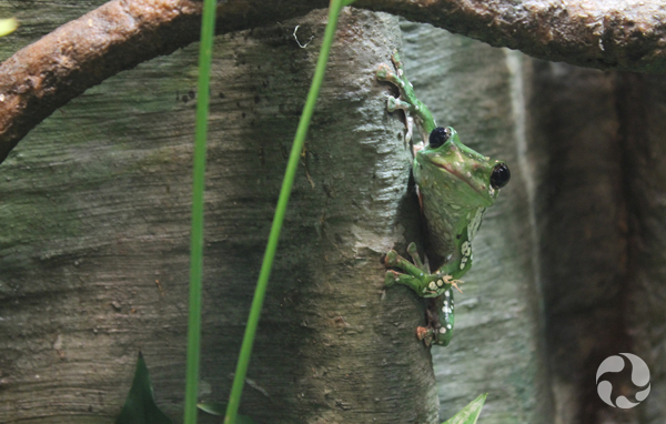 A green frog clings to a tree trunk.