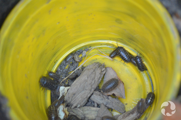A dozen or so wood lice and some bits of wood in a cup.