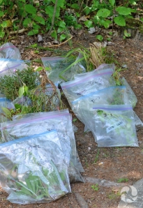Plants specimens in clear plastic bags on ground.