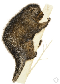 A painting of a North American porcupine (Erethizon dorsatum) clinging to a tree trunk.