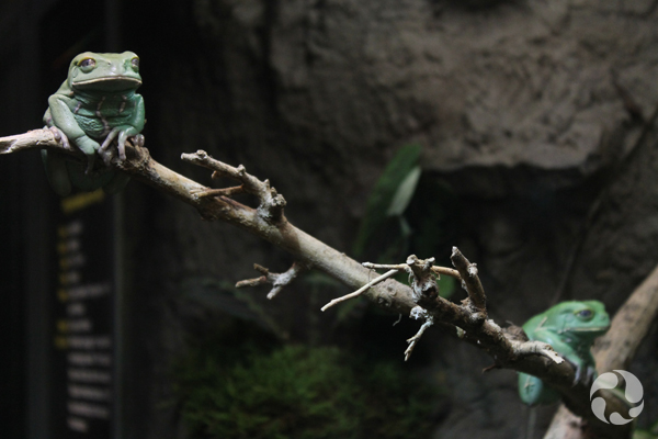 Two green frogs on a thin woody branch.