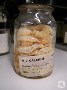 Jar of dried specimens of an amphipod.