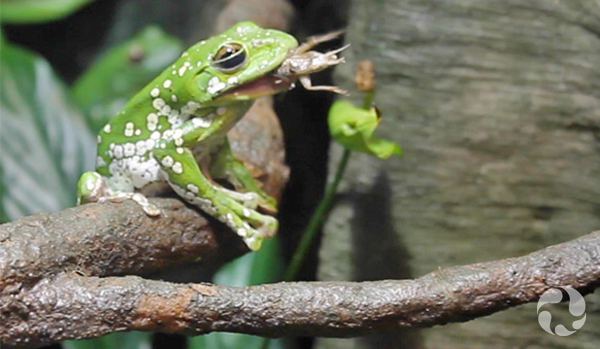 A Chinese gliding frog in its habitat at the museum.