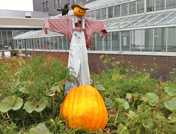 A large pumpkin grows at the foot of a scarecrow, in a garden beside a greenhouse.