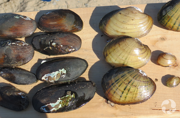An array of two kinds of mussels on a wooden board.