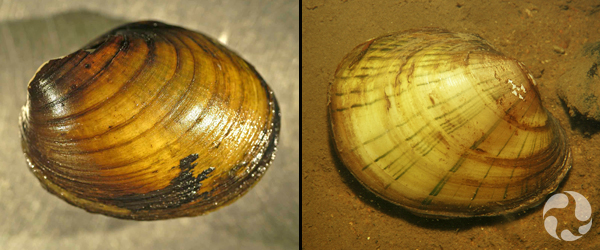 Two photos, each showing a mussel.