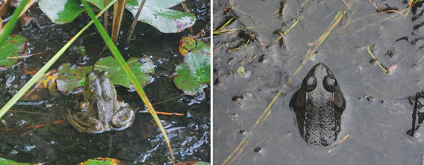 Two photos of two frogs in their habitat.