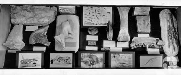 Closeup of a display case with dinosaur bones, drawings and models.