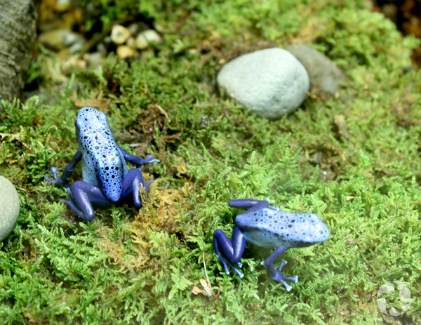 Two blue, spotted frogs in an exhibition terrarium.
