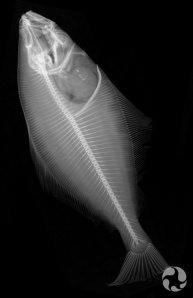 X-ray of an Atlantic Halibut.