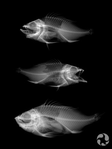 X-ray with three Acadian Redfish (Sebastes fasciatus).
