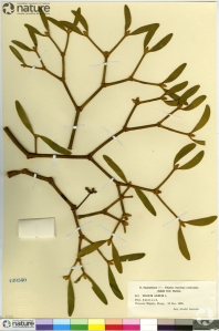 A herbarium sheet of mistletoe (accession #CAN12950).