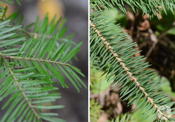 Collage: Balsam fir and white spruce branches.