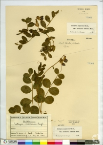 A herbarium sheet of two specimens.