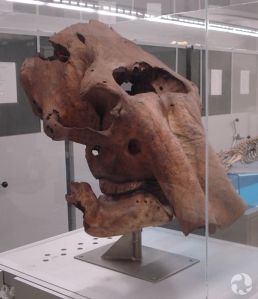 Skull of a woolly mammoth (Mammuthus primigenius).