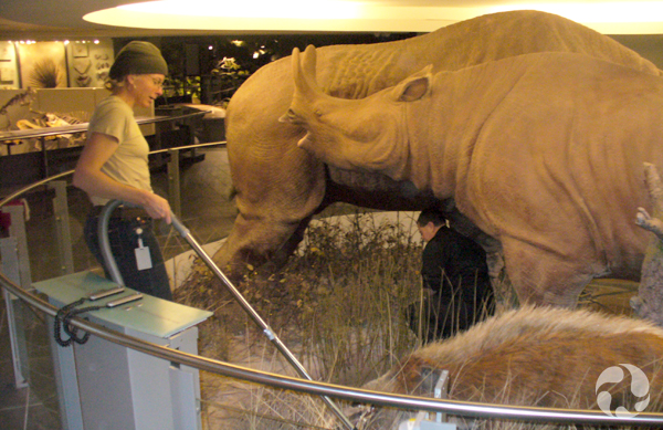 Among life-sized models of brontotheres (Megacerops sp.) and an entelodont (Archaeotherium sp.), a woman vacuums while a man crouches.