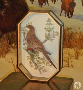 A Passenger Pigeon (Ectopistes migratorius), mounted in a portable display case.