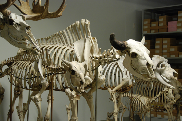 Mounted mammal skeletons lined up in a row.