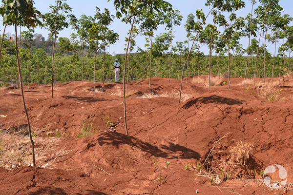 View of abandoned mines at Phum Throm with rubber trees now growing.