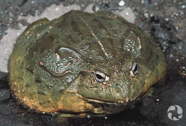 An African bullfrog in a terrarium.