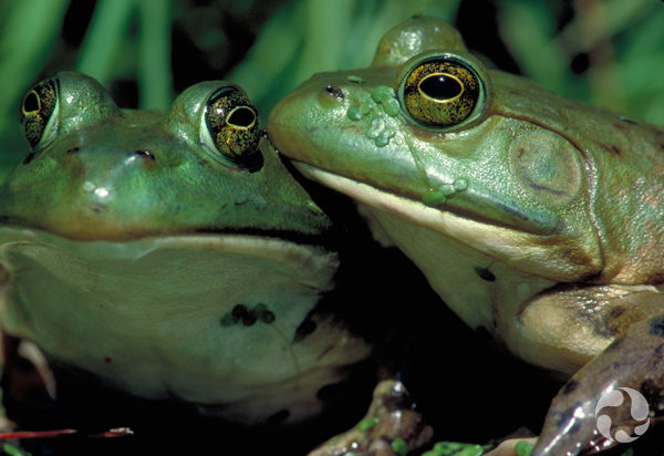 Two American bullfrogs.