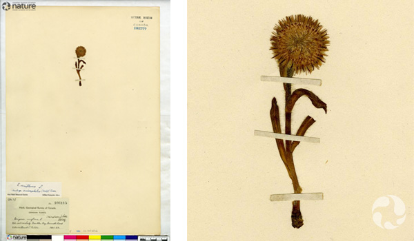 Collage: A herbarium sheet and an enlarged detail of the specimen.