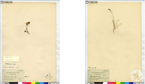 Two herbarium sheets.