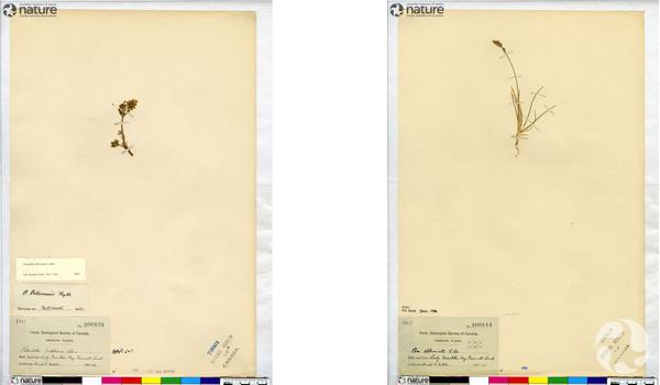 Two herbarium sheets.