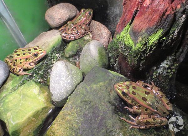 Three northern leopard frogs in a terrarium.