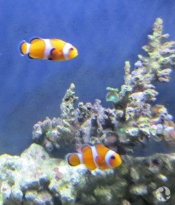 Two clown fish in an aquarium.