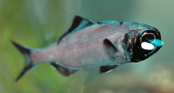 A fish in an aquarium.