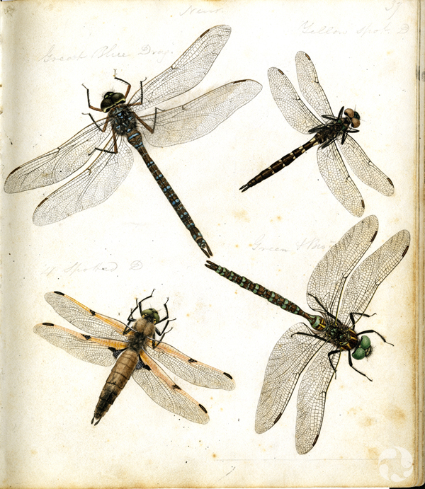 Four dragonfly illustrations.