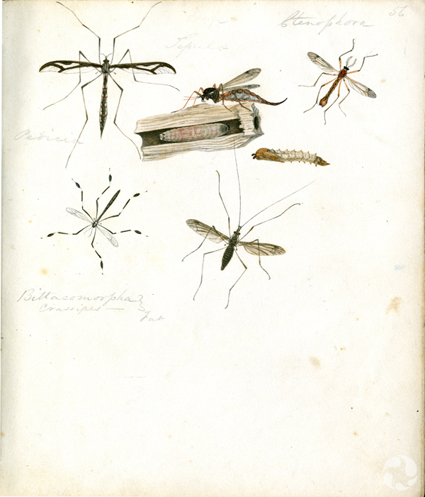 Six insect illustrations on one page.