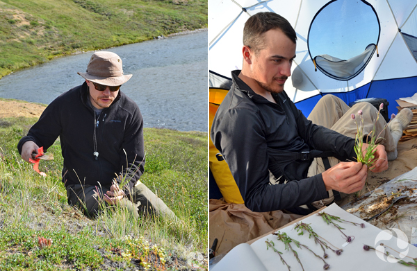 Collage: A man collects plants on the Arctic tundra, and a man presses plants inside a tent.