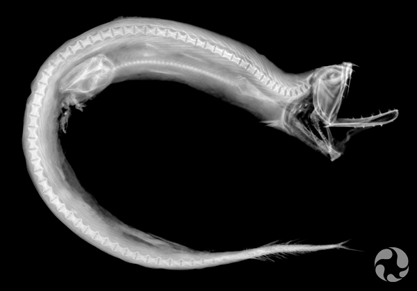A Boa Dragonfish.