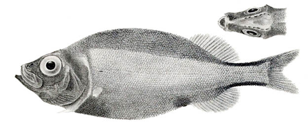 Platytroctes apus.