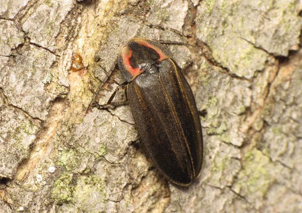 A firefly (Ellychnia corrusca).