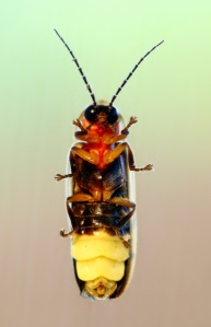 Ventral view of a firefly.