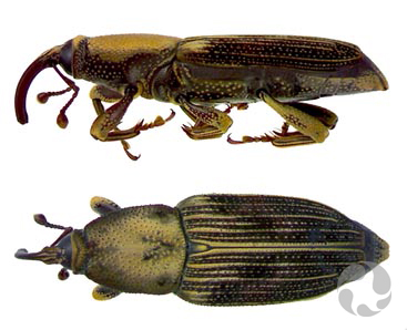 Dorsal and lateral views of a weevil.