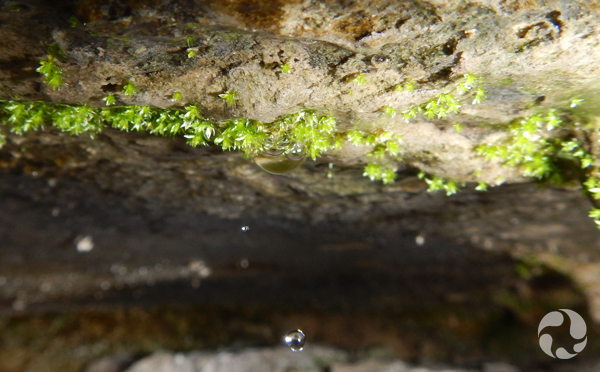Closeup of Porsild's Bryum under an overhang.