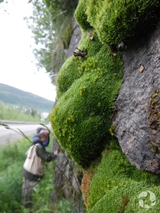 Closeup of botanist examining mosses along a roadside outcrop.