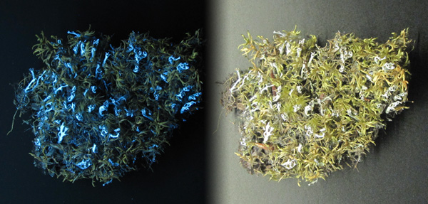 Collage: A specimen of powdered funnel lichen (Cladonia cenotea) and big red stem moss (Pleurozium schreberi) under white light and under UV light, showing the lichen fluorescing.