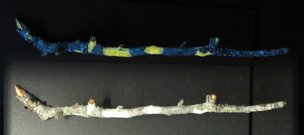 Collage: A section of lichen-covered branch under white light and the same branch under UV light, showing the lichen fluorescing.